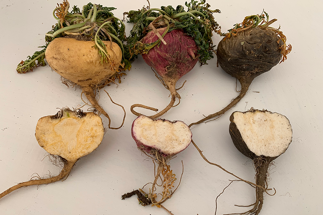 Cross section of maca roots