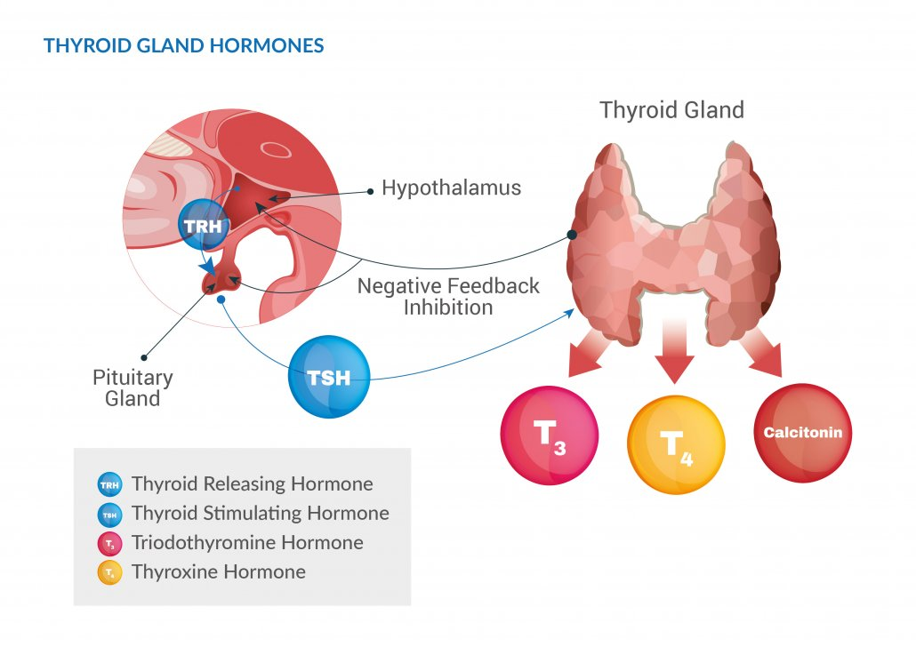 maca and thyroid function
